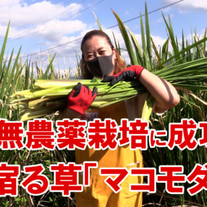 自然栽培した完全無農薬のマコモダケの収穫